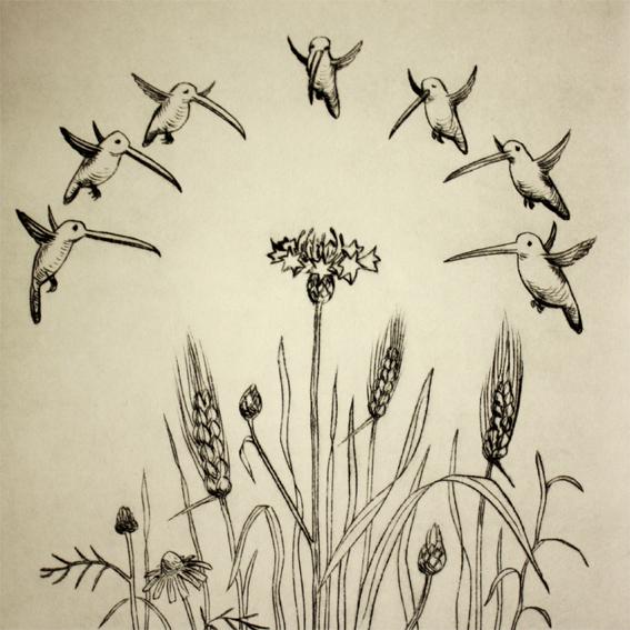 Kornblume mit Kolibris 18/20, Kaltnadelradierung, 20 x 20 cm auf ca. 26 x 39 cm Büttenpapier, 90 €
